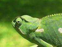 800px-Chameleon_2006-01.jpg